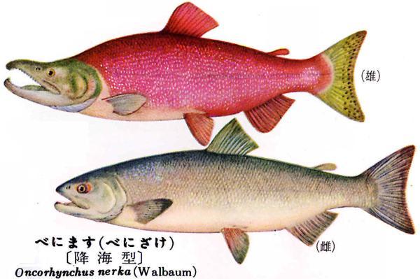 紅鮭 紅鱒