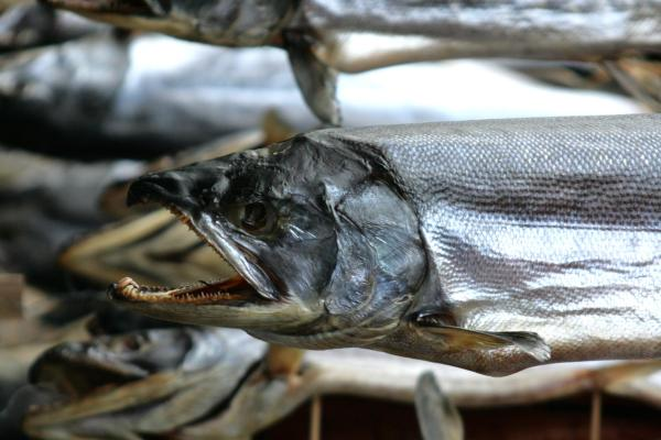鮭の塩引き