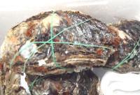 笹川流れ  天然岩牡蠣
