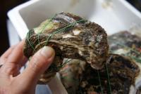 初めて岩牡蠣